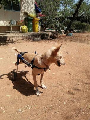 Buddy enjoying his mobility on Walkin' Wheels