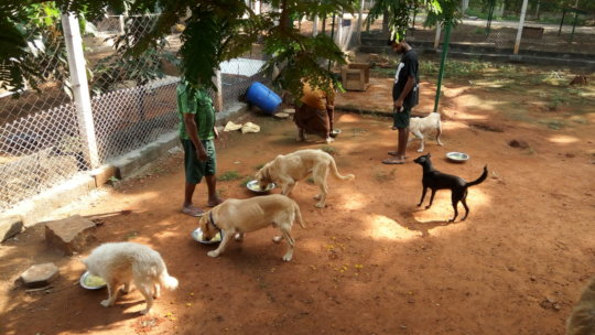 Lunch-time for some of our adult dogs