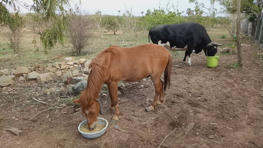 Lakshmi and Veeru enjoying special summer feed