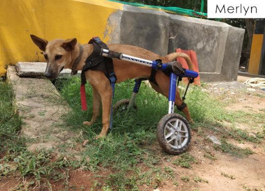 Merlyn on her walkin' wheels