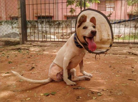 Tri-pawd Pet Azhagi After Amputation