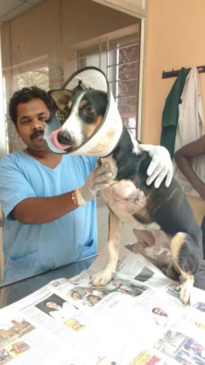 One of our rescue animals on post-operative care
