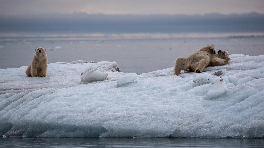 Happy Polar Bear family
