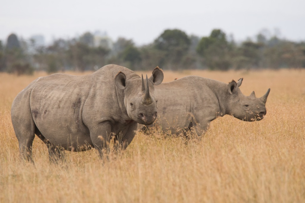 Black Rhinos in their majesty - the beneficiaries!