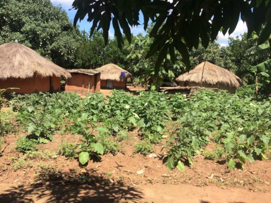 Small subsistence crop at a farmer's home