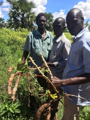 Showing how cassava mosaic disease affects roots