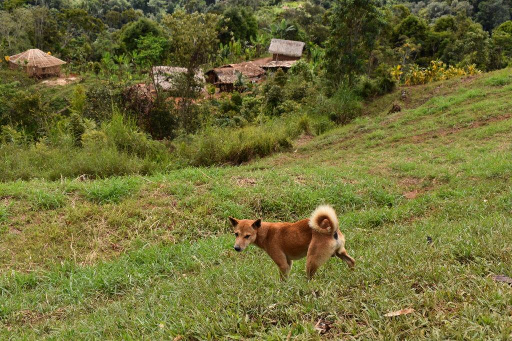 Indigenous dog with Ikundi household compound
