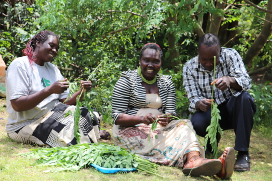 Our Native Seeds team harvests Moringa stenopetala