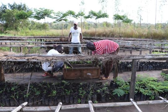Nursery workers loading moringa seedlings