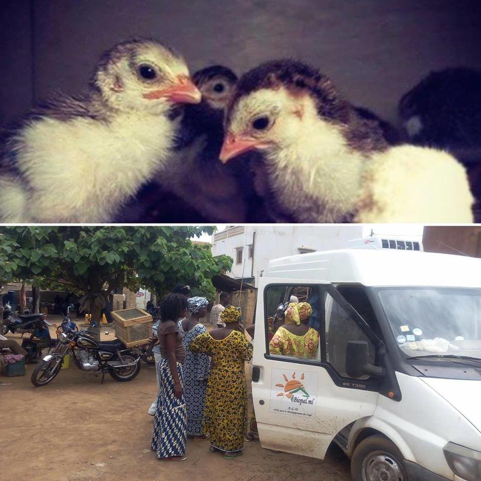 Chickens against unemployment and malnutrition