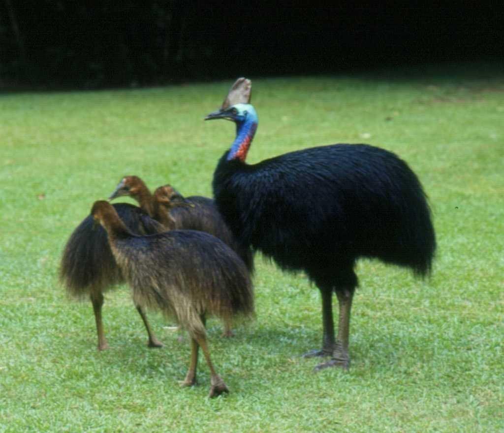 Save keystone Australian cassowary via IT