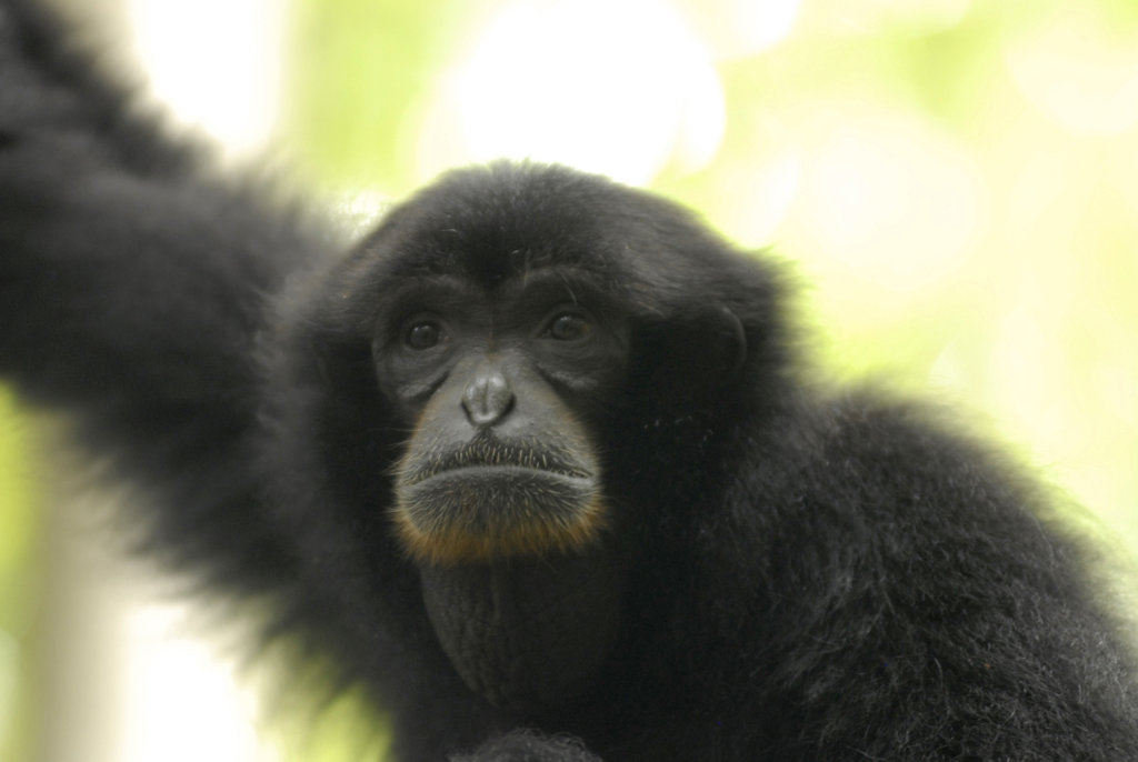 Save the forest of gibbons in Indonesia !