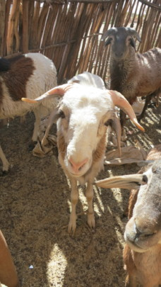 Goats provide dairy - but also stability & agency