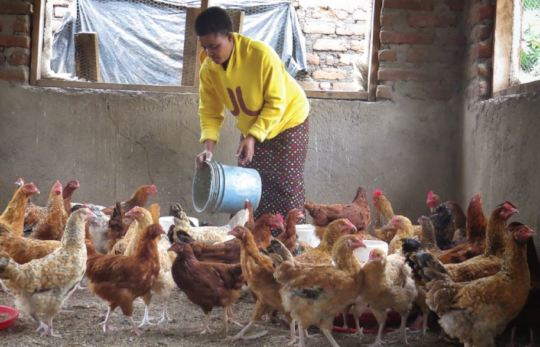 Farmer Mary feeds her chickens in her new coop