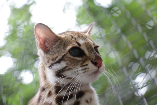 Leopard cat rescue from the illegal pet trade