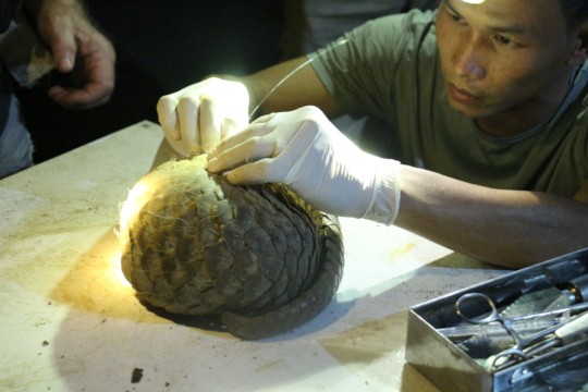 Pangolin fitted with a radio transmitter