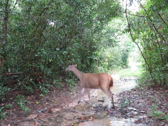 Sambar returns to the wild