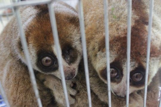 Doc poto 2 loris and 1 loris in blind left eye