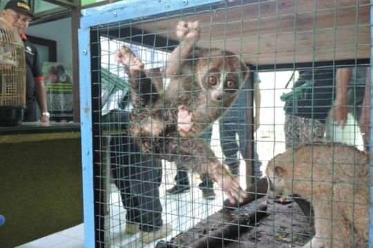 Slow loris secured frm Illegal trade in Medan 2018