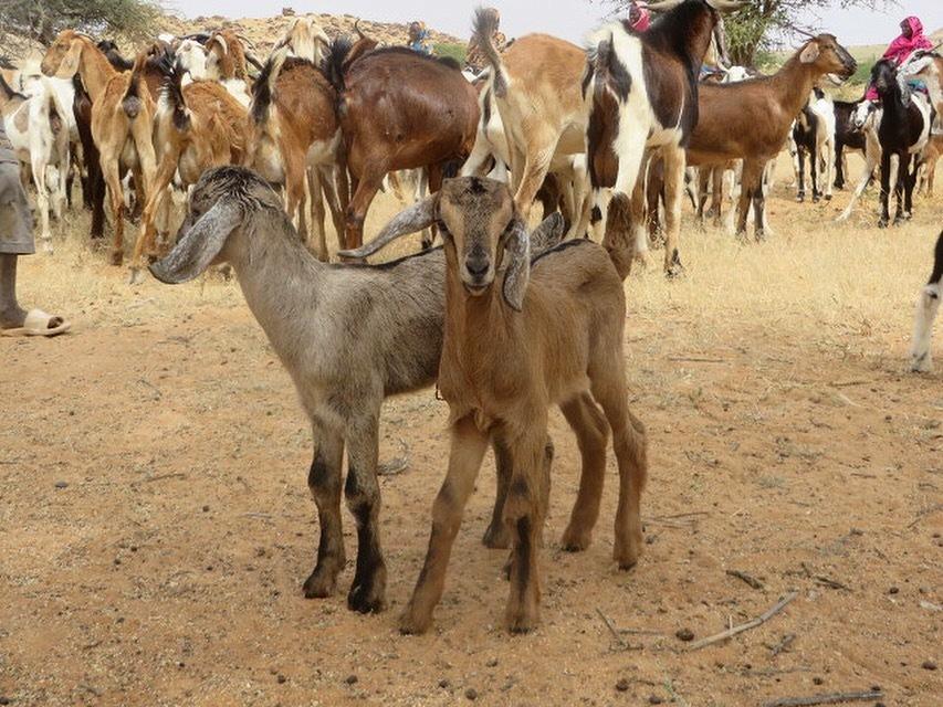 New Goats Provide Hope for Women in Darfur!