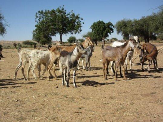 Goats at Um Ishira