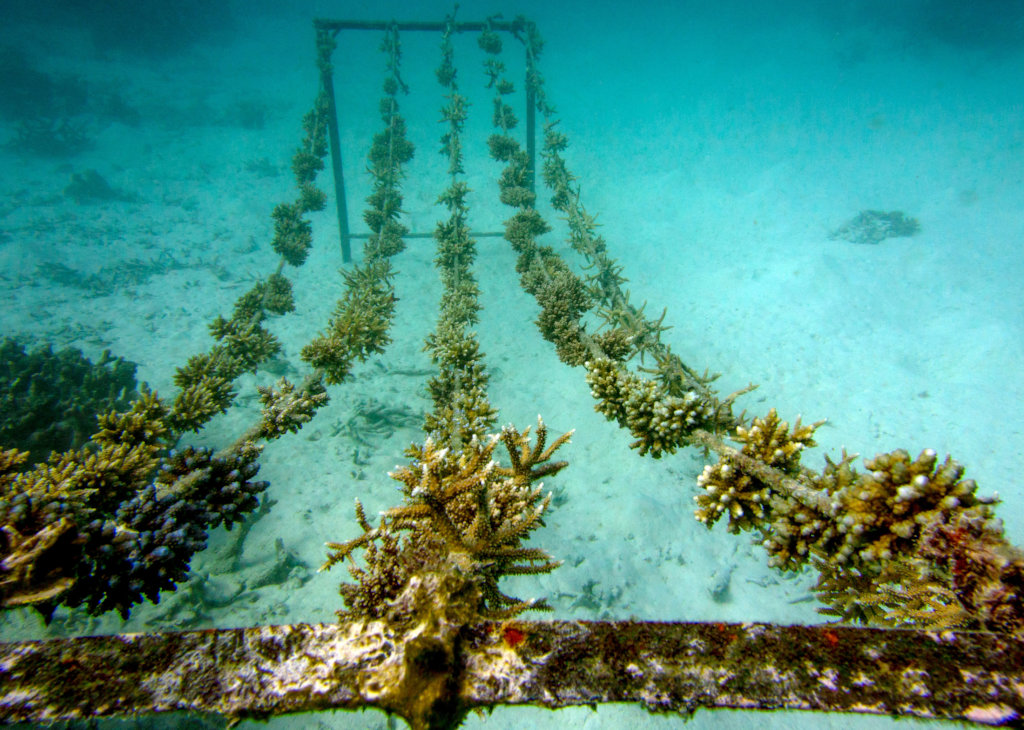 Rehabilitating coral reefs damaged by bleaching