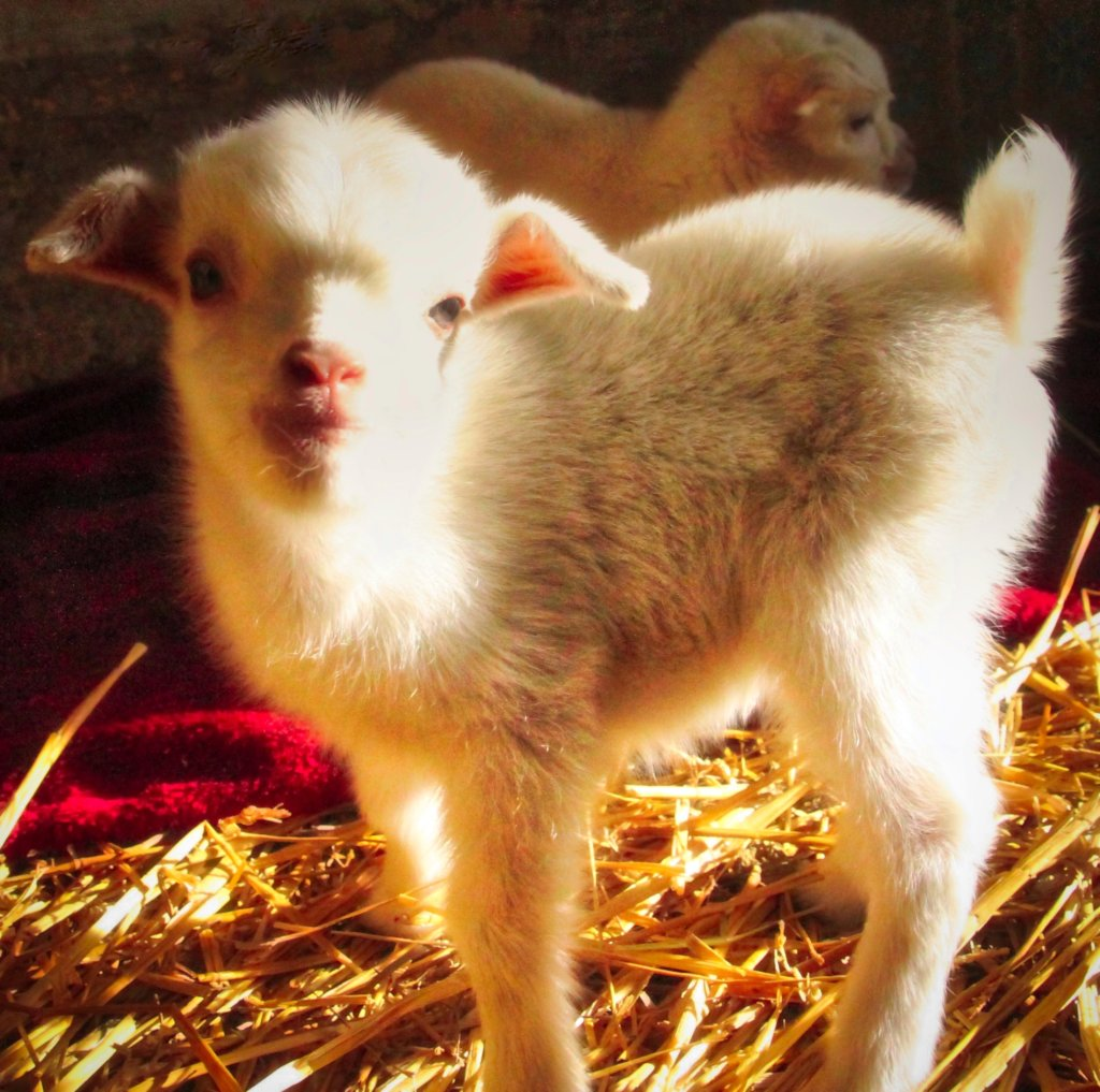 Help for Shelter Rescues Animals from Slaughter