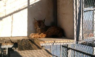 Heal, free the lynx from durance-one of its kind