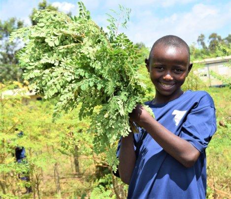 Harvesting Moringa