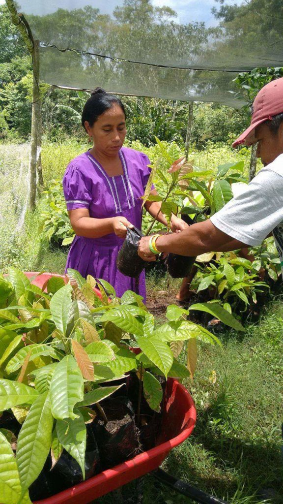 Rehabilitate 300 Cacao Farms in Southern Belize