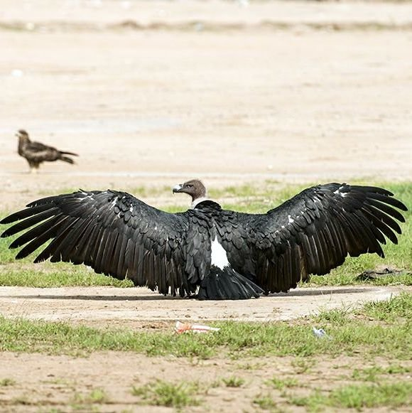 project photo for Vulture Conservation in Central Gujarat