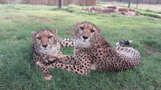 Keep Joyce and Abigale at Cheetah Experience