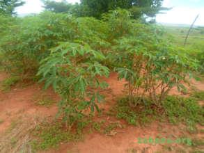 Cassava in Zahana's school garden