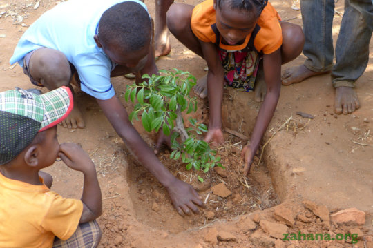 Planting the lychee tree in the school yard