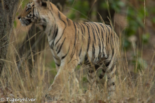 Tiger Cub in Forest
