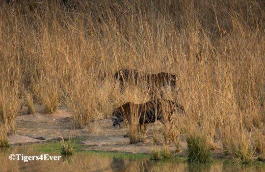 Reducing Human-Tiger Conflict in Bandhavgarh