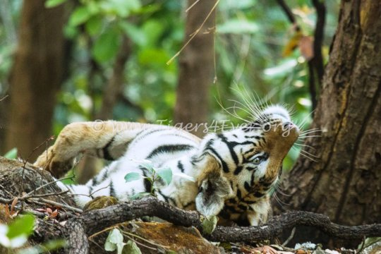 Tiger Relaxing in the Forest