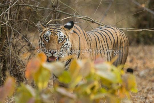 Wild Tiger in Bandhavgarh