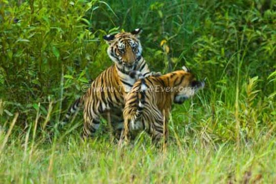 Tiger cubs Learning valuable life skills