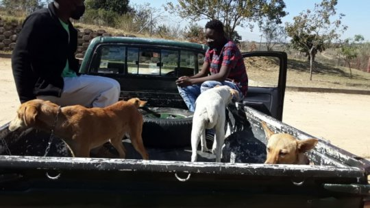 Taking dogs to local vet clinic for sterilization
