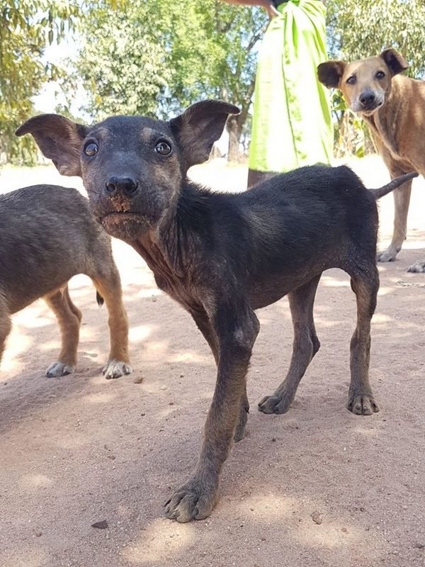 Help us to sterilize dogs in rural South Africa - GlobalGiving