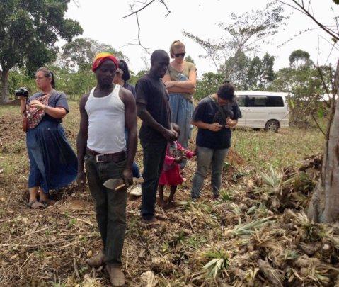 Transporting pineapple seedlings