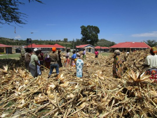Harvesting and drying the maiz