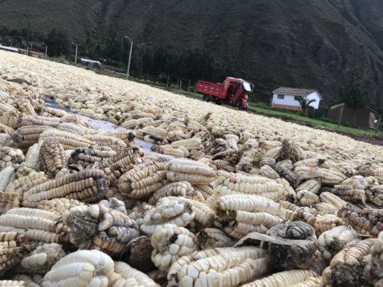 Corn drying out before seeds were selected