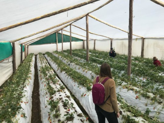 Strawberry Greenhouse in Qenqo