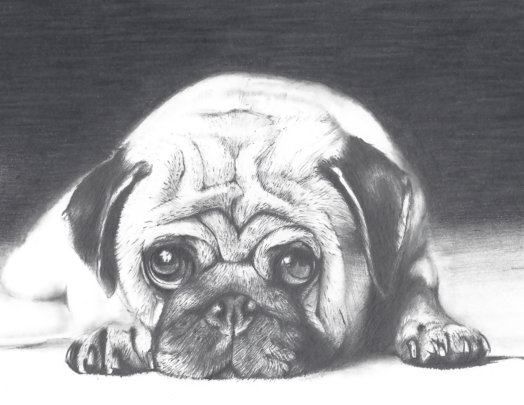 Student drawing of a pug photo
