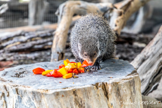 Feeding the mongoose