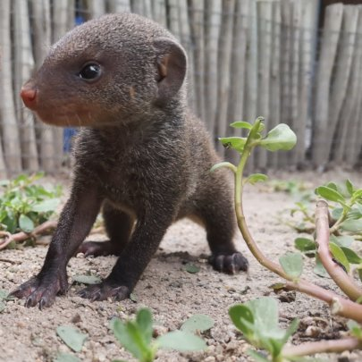 Monty the baby mongoose