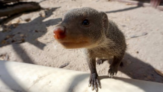 Monty the mongoose
