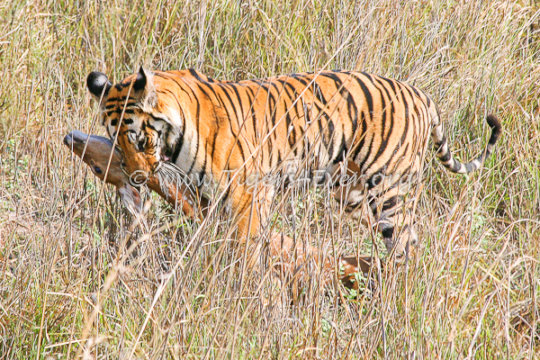 Young Tiger with a Deer Kill